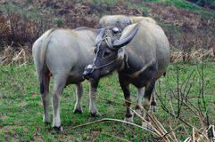 Two water buffalo Stock Photos