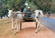 Two water buffalo pulling a cart in Southeast Asia. Two white water buffalo pulling a cart and driver along the side of the road stock images