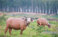 Two water buffaloes in Thailand Royalty Free Stock Photos