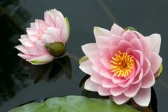 Two Water Lilies Stock Photography