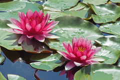 Two water lilies Royalty Free Stock Image