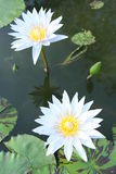 Two water lilies Royalty Free Stock Images