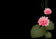 Two Water Lilies. A pair of water lilies and lily pads on a black background with copyspace Royalty Free Stock Photo