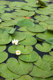 Two water lilies. Bloom in a littel lake Royalty Free Stock Images