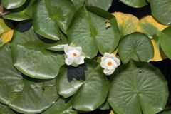Two water lilies blooming among lily pads. Two water lilies blooming among other lily pads Royalty Free Stock Photo