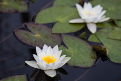 Two Water Lilies. Two blossoming water lilies in the water Royalty Free Stock Photography