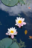 Two water lilies in a pond Stock Image
