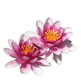 Two water lilies, on white background Royalty Free Stock Image