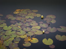 Two water lily. In black lake. A moment of peace and beauty in nature Stock Photography