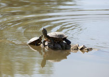 Two water turtles on the rock Stock Photo