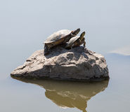 Two water turtles on the rock Stock Images