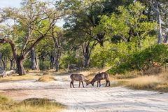 Two waterbuck bulls fight over cow rights stock photo