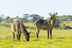 Two waterbuck Stock Photos