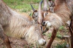 Two Waterbucks fighting royalty free stock photos