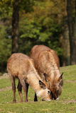 Two waterbucks grazing Stock Photo