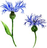 Two watercolor blue flowers. Two vector watercolor blue flowers of cornflowers, hand drawn vector design elements Royalty Free Stock Photo
