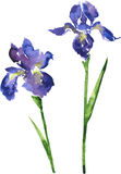 Two watercolor blue flowers Royalty Free Stock Image