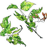 Two watercolor drawing maple twigs Stock Photography