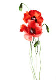 Two watercolor poppies on white background illustration Royalty Free Stock Photo