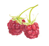 Two watercolor raspberries isolated on white background. Stock Image