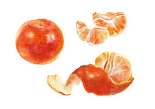 Two watercolor tangerines. Royalty Free Stock Photo