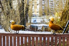 Two waterfowl red duck pecans lat. Tadorna ferruginea sit on a small fence royalty free stock photos