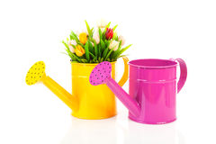 Two watering can with colorful tulips Royalty Free Stock Image