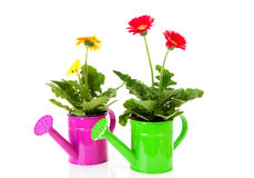 Two watering cans with Gerber flowers Stock Photos