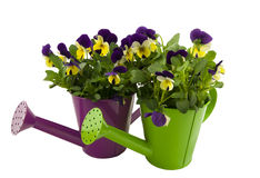 Two watering cans with violets. Two colorful wateringcans with violets royalty free stock photography