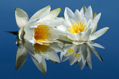 Two waterlilies reflected in water. Stock Photos