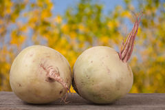 Two watermelon radish on a wooden table with blurred garden background.  Stock Photo