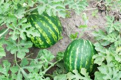 Two watermelons in a garden Stock Image