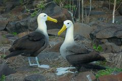Two Waved Albatrosses Mating in Galapagos Islands Stock Photos