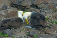 Two Waved Albatrosses Mating in Galapagos Islands Stock Images