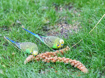 Two wavy parrots peck seeds Royalty Free Stock Images