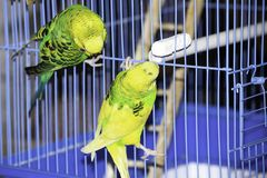 Two wavy parrots sit on a cage stock images