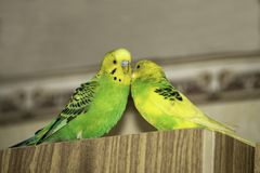 Two wavy parrots are sitting on the closet royalty free stock images