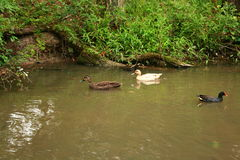 Two way traffic. Birds ducks nature water passing stream ornithological Royalty Free Stock Images