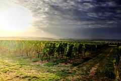 Two ways crossing in the vineyards. Under the evening sun royalty free stock image