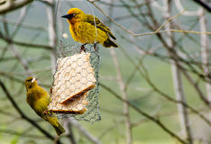 Two Weaver birds feeding Royalty Free Stock Photo