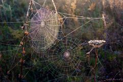 Two webs. On dry plants against light Stock Images
