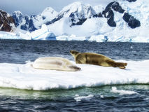 Two Weddell Seals Stock Photo