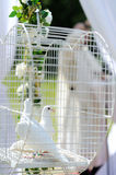 Two wedding doves Stock Images