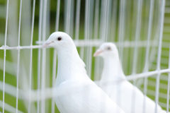 Two wedding doves Royalty Free Stock Images