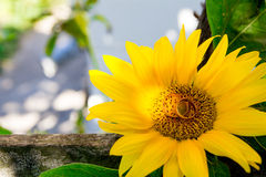 Two wedding rings lie on a large sunflower. Stock Photo