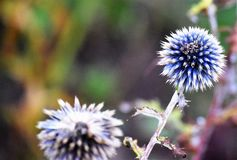 Two weeds. Two beautiful weeds with a blue and white tint with a white stem royalty free stock images