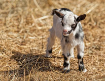Two-Week-Old Baby Goat. Two-week old baby goat on a lavender farm in North Saanich, Vancouver Island, British Columbia Royalty Free Stock Photography