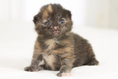 Two week old brown kitten. Sitting on white bed Stock Photography