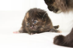 Two week old brown kitten Stock Photos