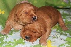 Two week old Golden Retriever puppies napping Royalty Free Stock Image